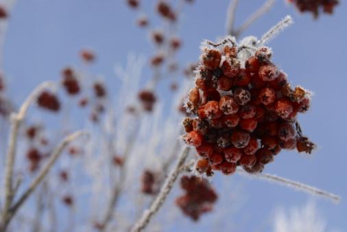 Rowanberry「Berries growing on branch in winter」:スマホ壁紙(1)