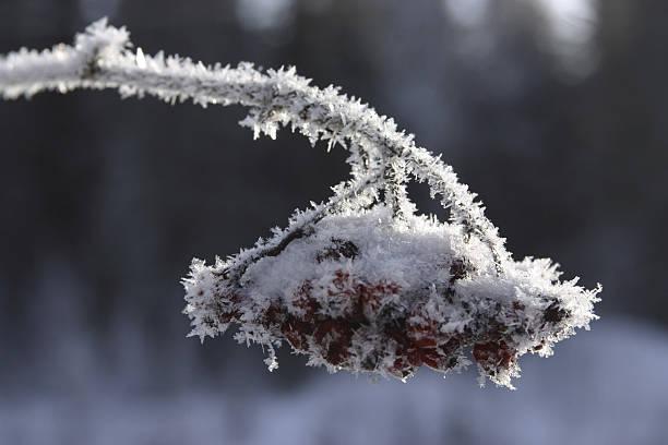 Berries growing on branch in winter:スマホ壁紙(壁紙.com)