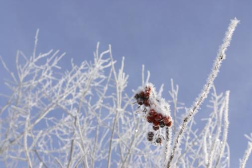 Rowanberry「Berries growing on branch in winter」:スマホ壁紙(7)