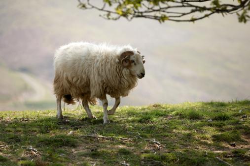 Hoof「Welsh hillside sheep close up grazing」:スマホ壁紙(18)