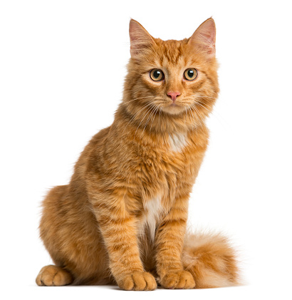 Purebred Cat「Maine Coon kitten isolated on white」:スマホ壁紙(4)