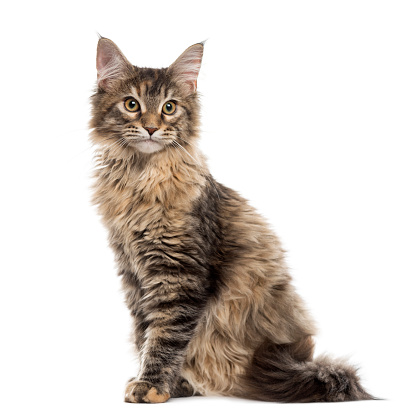 子猫「Maine Coon kitten sitting, isolated on white」:スマホ壁紙(0)