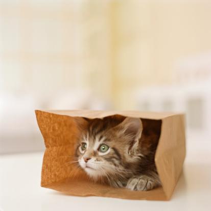 Kitten「Maine Coon Kitten sitting in paper bag, close-up」:スマホ壁紙(9)