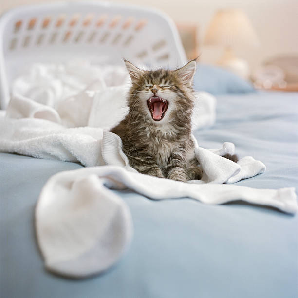 Maine Coon Kitten with laundry basket on bed, screaming:スマホ壁紙(壁紙.com)