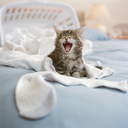 Cat「Maine Coon Kitten with laundry basket on bed, screaming」:スマホ壁紙(16)