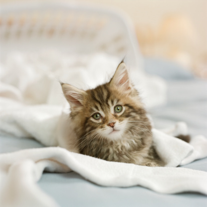 Animal Whisker「Maine Coon Kitten with laundry basket on bed」:スマホ壁紙(4)