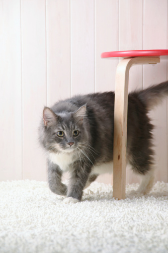 Cat「Maine coon cat walking」:スマホ壁紙(11)