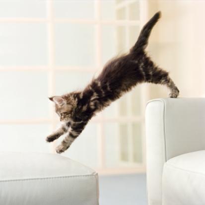 子猫「Maine Coon kitten jumping from couch to ottoman」:スマホ壁紙(12)