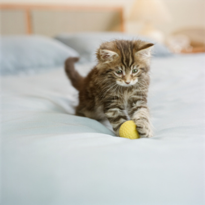 Animal Whisker「Maine Coon kitten sitting on bed in bedroom, playing with ball」:スマホ壁紙(0)