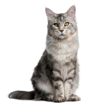 Cat「Maine Coon (13 months old)」:スマホ壁紙(0)