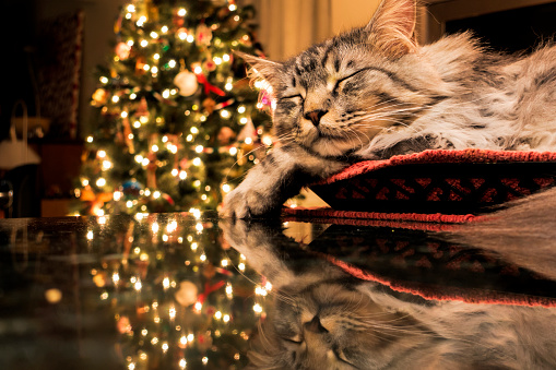 純血種のネコ「Maine Coon cat sleeps in basket, reflecting with Christmas tree lights on granite kitchen counter」:スマホ壁紙(1)
