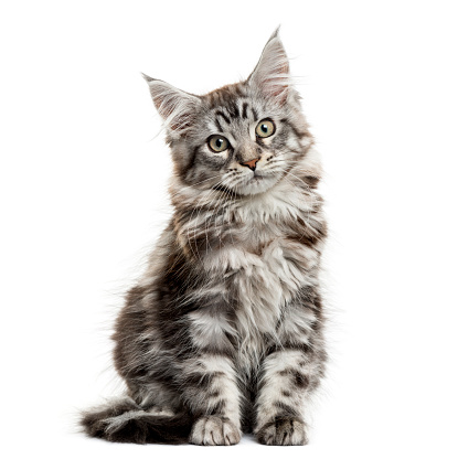 Purebred Cat「Maine coon kitten in front of white background」:スマホ壁紙(12)