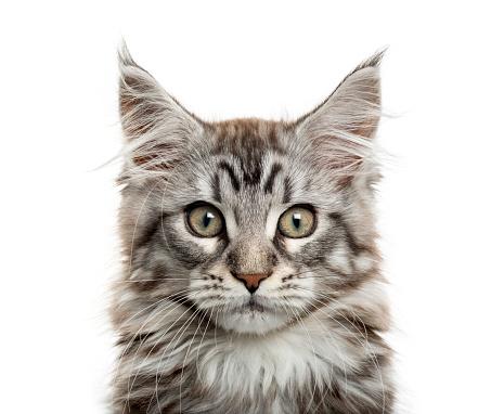 Animal Whisker「Maine coon kitten in front of white background」:スマホ壁紙(8)