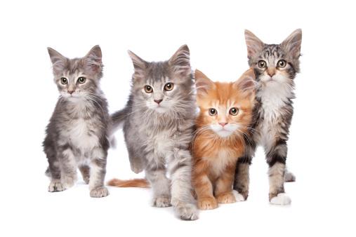 Kitten「Maine Coon kittens」:スマホ壁紙(12)