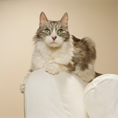 Animal Whisker「Maine Coon Kitten on arm chair, close-up」:スマホ壁紙(8)