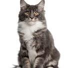純血種のネコ壁紙の画像(壁紙.com)