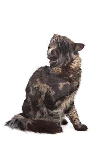 純血種のネコ「maine coon, black tabby cat」:スマホ壁紙(13)