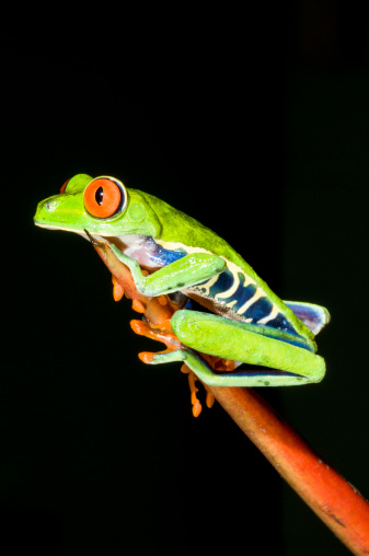 Heliconia「Tropical Red-eyed Tree Frog (Agalychnis callidryas) on Heliconia plant」:スマホ壁紙(17)