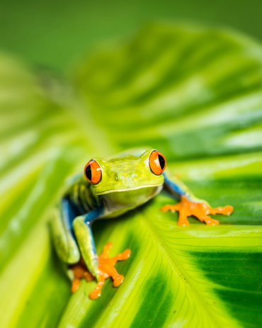 Heliconia「Tropical Red-eyed Tree Frog (Agalychnis callidryas) on Heliconia plant」:スマホ壁紙(18)