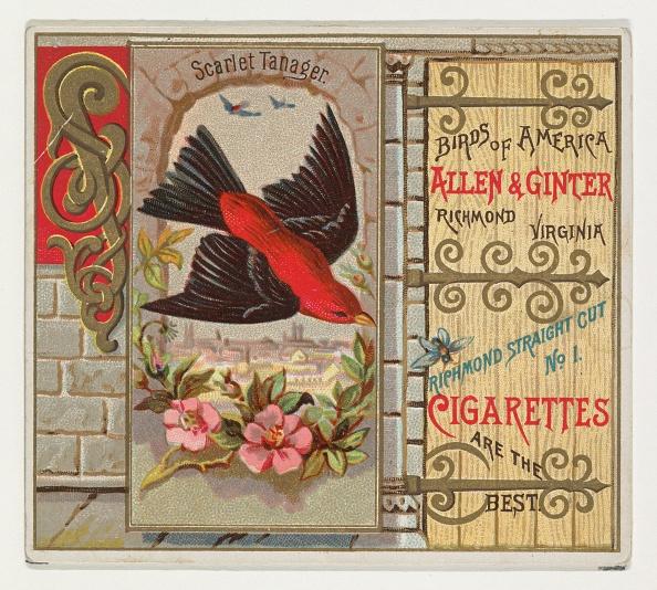 Songbird「Scarlet Tanager」:写真・画像(7)[壁紙.com]