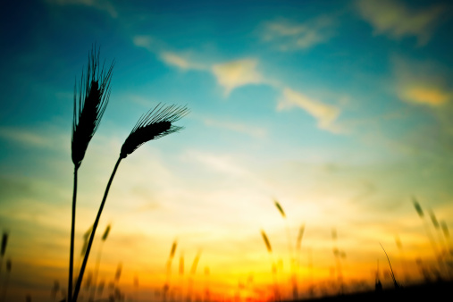 Corn - Crop「Ripe wheat in field in foreground with yellow sunset behind」:スマホ壁紙(19)