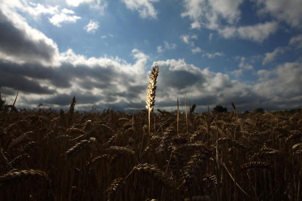 Wheat「Global Grain Prices Set To Soar Amid Fears Of Wheat Shrotage Due To Drought」:写真・画像(3)[壁紙.com]