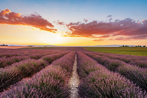Organic Farm「Blooming Lavender Valensole Sunset France」:スマホ壁紙(17)