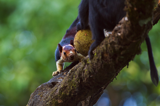 Squirrel「Giant malabar squirrel trying to take jack fruit from a Lion-tailed macaque」:スマホ壁紙(16)
