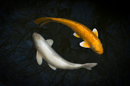 Carp「Two koi in a pond」:スマホ壁紙(7)
