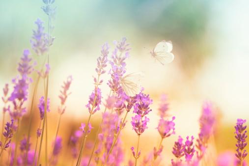 花畑「蝶にアロエラヴェンダー」:スマホ壁紙(3)