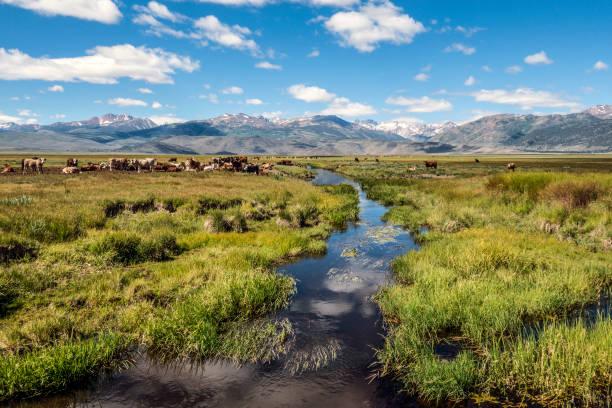 Bridgeport Valley cattle:スマホ壁紙(壁紙.com)