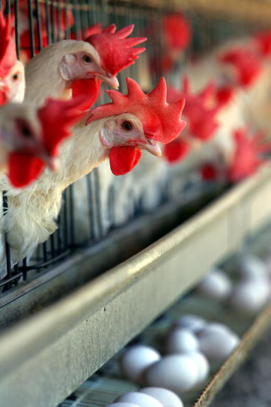Cage「Poultry Farmers Livelihood Threatened By Avian Flu」:写真・画像(16)[壁紙.com]