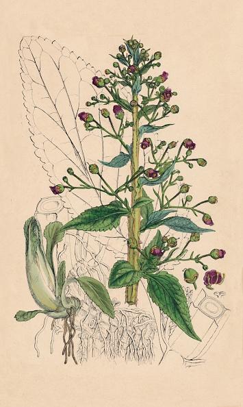 紫「Scrophularia Ehrharti. Ehrharts Water-Betony, 1」:写真・画像(7)[壁紙.com]