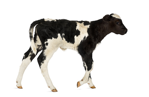 Belgium「Belgian blue calf isolated on white」:スマホ壁紙(18)