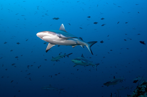Indian Ocean「Gray Fin Reef Shark」:スマホ壁紙(2)