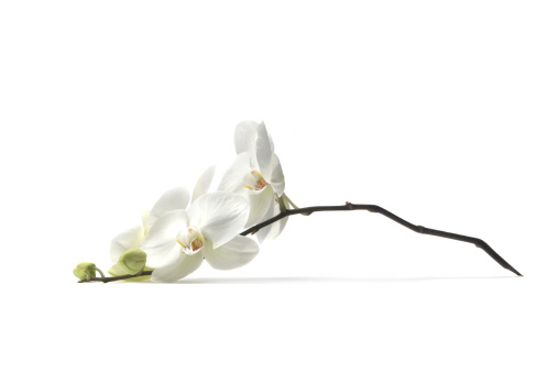 Fragility「Flowers: Orchid」:スマホ壁紙(8)