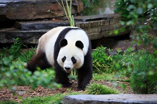 パンダ「Grosser Panda, (Ailuropoda melanoleuca)」:スマホ壁紙(2)