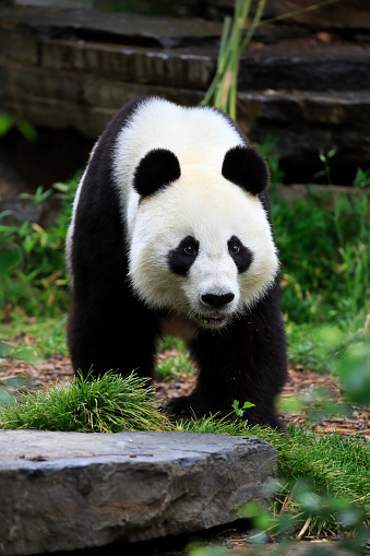 パンダ「Grosser Panda, (Ailuropoda melanoleuca)」:スマホ壁紙(7)
