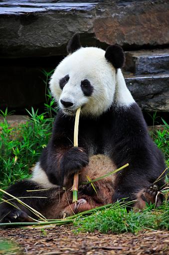 パンダ「Grosser Panda, (Ailuropoda melanoleuca)」:スマホ壁紙(1)