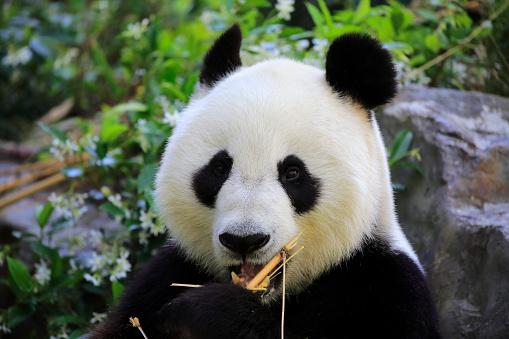 パンダ「Grosser Panda, (Ailuropoda melanoleuca)」:スマホ壁紙(8)