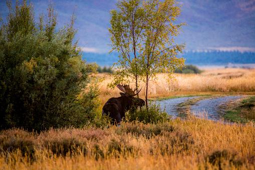 The Nature Conservancy「Elk standing near tree」:スマホ壁紙(13)