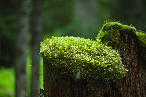 Joffre Lakes Provincial Park「A moss cap covers the top of an old tree stump」:スマホ壁紙(16)