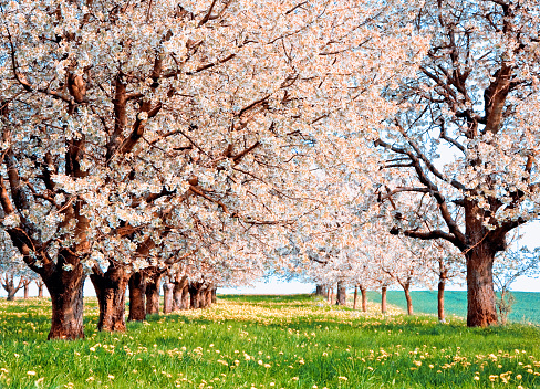 桜「Orchard of Cherry blossom trees in bloom, Aargau, Switzerland」:スマホ壁紙(15)