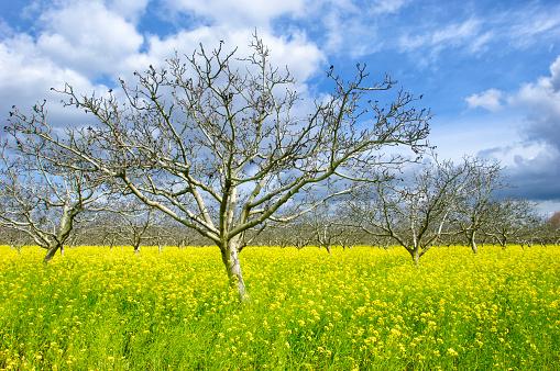 桜「Orchard of Cherry Trees, Field Mustard and Clouds」:スマホ壁紙(1)