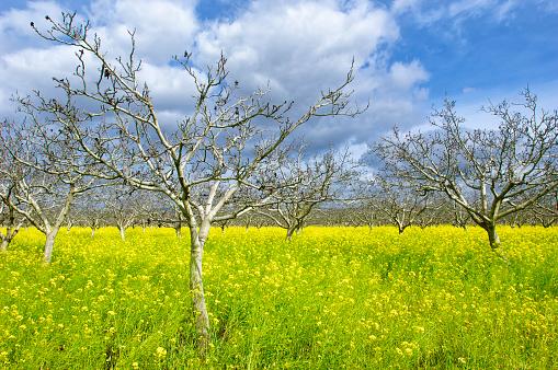 桜「Orchard of Cherry Trees, Field Mustard and Clouds」:スマホ壁紙(0)