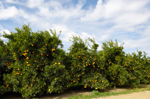 Grove「Orchard of Navel Orange Trees」:スマホ壁紙(8)