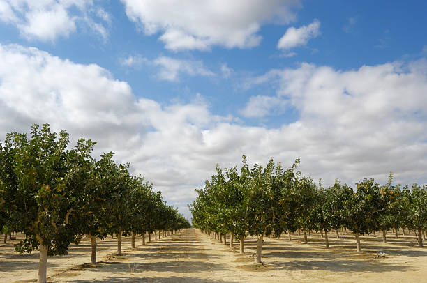 Orchard of Ripening Pistachio Nuts:スマホ壁紙(壁紙.com)