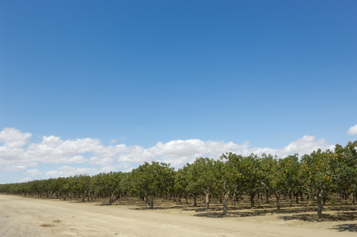 Grove「Orchard of Ripening Pistachio Nuts」:スマホ壁紙(2)