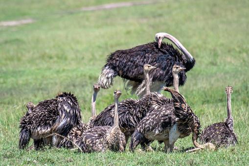 Teenager「Ostrich family」:スマホ壁紙(13)