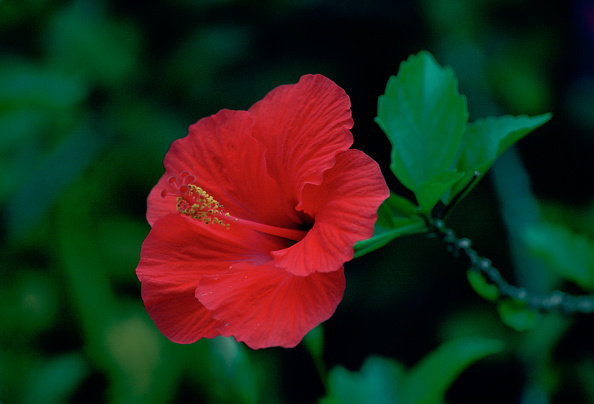 Petal「Hibiscus Flower, Solomon Isles, South Pacific」:写真・画像(3)[壁紙.com]